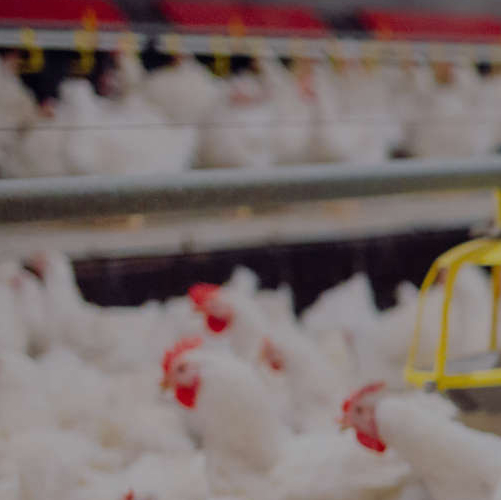 Poultry Farms, Hatcheries, Processing & Packaging
